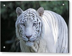 White Tiger Face Acrylic Print by Shoal Hollingsworth