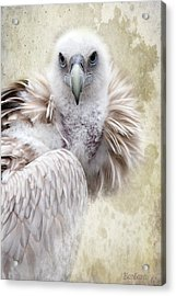 White Vulture  Acrylic Print by Barbara Orenya