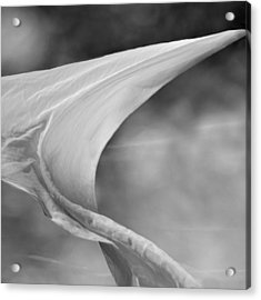 White Wing 2 Acrylic Print by Laura Fasulo