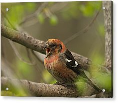 White-winged Crossbill Acrylic Print by James Peterson