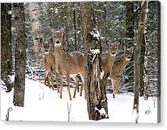 Whitetail Deer Odocoileus Virginianus Acrylic Print by Gregory K Scott