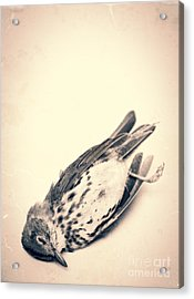 Who Killed Cock Robin Acrylic Print by Edward Fielding
