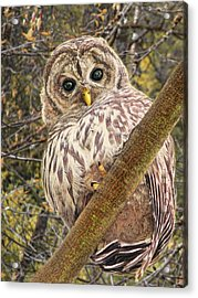 Who Who Are You Barred Owlet Acrylic Print by Jennie Marie Schell