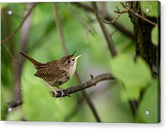 Wild Birds - House Wren Acrylic Print by Christina Rollo