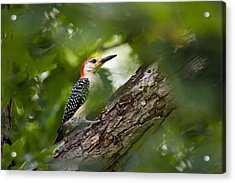 Red Bellied Woodpecker Acrylic Print by Christina Rollo