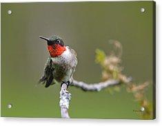 Wild Birds - Ruby-throated Hummingbird Acrylic Print by Christina Rollo