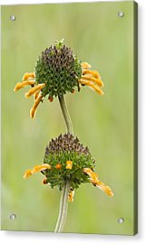 Wild Dagg (leonotis Sp.) In Flower Acrylic Print by Science Photo Library