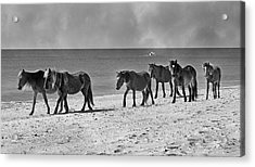 Wild Mustangs Of Shackleford Acrylic Print by Betsy Knapp