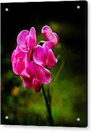 Wild Pea Flower Acrylic Print by Robert Bales
