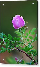 Wild Rose Acrylic Print by Kimberley Anglesey