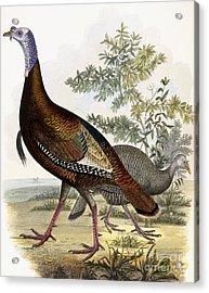 Wild Turkey Acrylic Print by Titian Ramsey Peale