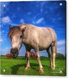 Wild Young Horse On The Field Acrylic Print by Michal Bednarek