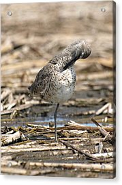 Willet Acrylic Print by James Peterson