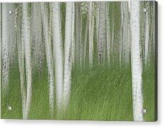 Wind In The Aspen Acrylic Print by Nancy Myer