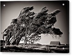 Windswept Acrylic Print by Dave Bowman