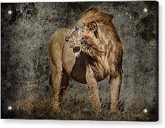 Windswept Lion Acrylic Print by Mike Gaudaur