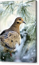 Winter Bird Mourning Dove Acrylic Print by Christina Rollo