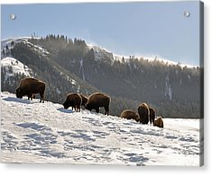 Winter Bison Herd In Yellowstone Acrylic Print by Bruce Gourley