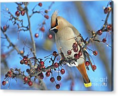 Winter Colors.. Acrylic Print by Nina Stavlund