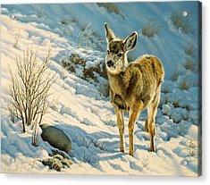 Winter Fawn - Mule Deer Acrylic Print by Paul Krapf