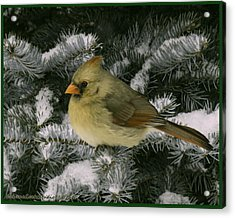 Winter Female Cardinal In Snow Covered Pine Acrylic Print by LeeAnn McLaneGoetz McLaneGoetzStudioLLCcom