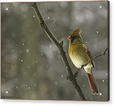 Winter Female Cardinal With Snow Fall Acrylic Print by LeeAnn McLaneGoetz McLaneGoetzStudioLLCcom