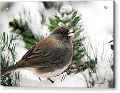 Winter Junco Acrylic Print by Christina Rollo