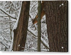 Winter Squirrel Acrylic Print by Dan Sproul