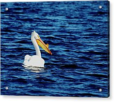 Wisconsin Pelican Acrylic Print by Thomas Young