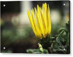With Exuberance Beauty Acrylic Print by Max Cohen