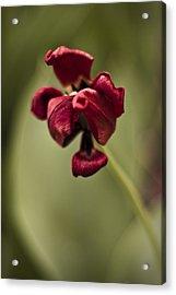 Withered Tulip Acrylic Print by Adam Romanowicz