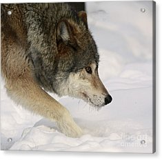 Wolf Dreams Acrylic Print by Inspired Nature Photography Fine Art Photography