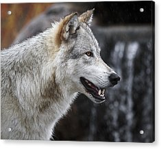 Wolf Smile D9933 Acrylic Print by Wes and Dotty Weber
