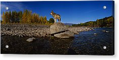 Wolf Standing On A Rock Acrylic Print by Panoramic Images