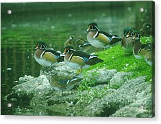 Wood Ducks Hanging Out Acrylic Print by Jeff Swan