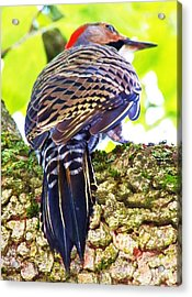 Woodpecker Common Flicker Acrylic Print by Judy Via-Wolff