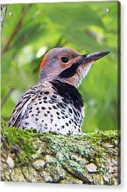 Woodpecker Acrylic Print by Judy Via-Wolff