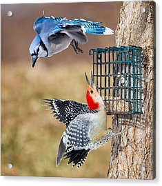 Woodpeckers And Blue Jays Square Acrylic Print by Bill Wakeley