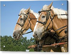 Working Farm Horses Acrylic Print by Jim West
