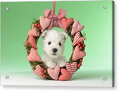 Xmas Reef Puppy Acrylic Print by Greg Cuddiford