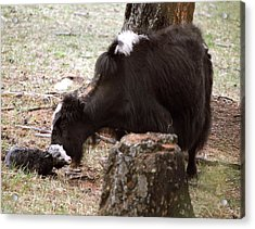 Yak And Calf Acrylic Print by Science Photo Library