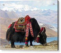 Yak Near Yamdrok Lake Tibet Acrylic Print by Paul Fearn