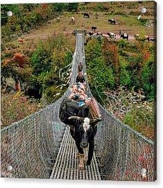 Yaks On Rope Bridge Acrylic Print by Babak Tafreshi
