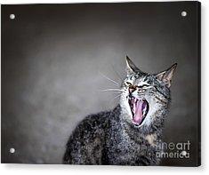 Yawning Cat Acrylic Print by Elena Elisseeva