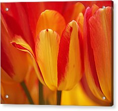 Yellow And Red Striped Tulips Acrylic Print by Rona Black