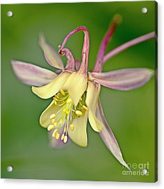 Yellow Aquilegia Bloom Acrylic Print by Heiko Koehrer-Wagner