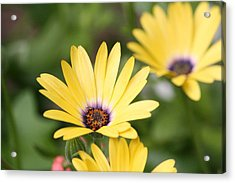Yellow Beauty Acrylic Print by Sue Chisholm