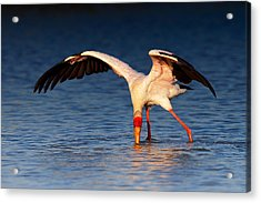 Yellow-billed Stork Hunting For Food Acrylic Print by Johan Swanepoel