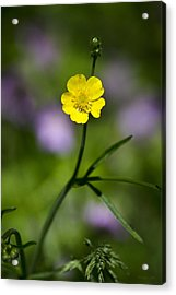 Yellow Buttercup Acrylic Print by Christina Rollo