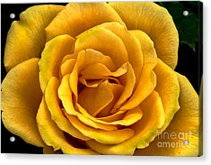 Yellow Close-up Acrylic Print by Robert Bales